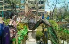 附近成年白孔雀展览价格蓝孔雀展承接各大商演