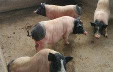 6分钟前:哪里有可爱小香猪市场价格
