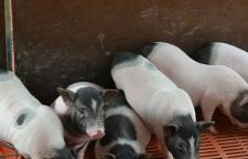 现场选购:什么位置有卖迷你小香猪种猪饲养方法