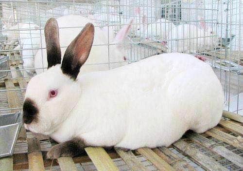 清水县一般从哪里引进肉兔兔种