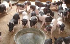 阿里香猪宠物猪养殖场批发采购