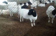 岱山附近绵羊养殖基地