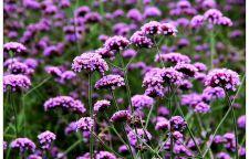 阳江紫花地丁哪个品种好