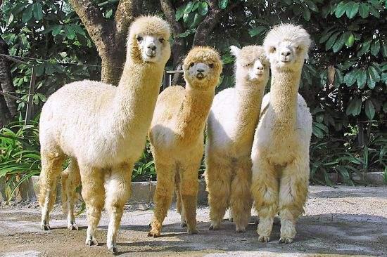 绵阳羊驼多少钱一只