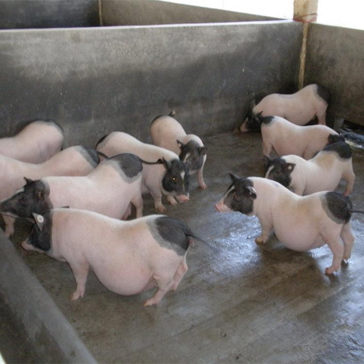 现场选购:附近哪里有卖养一只小香猪养殖场