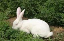 遂昌县肉兔种兔多少钱一只
