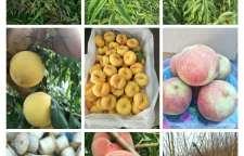 雅安中桃金魁桃子介绍_亩产量高_种植基地_诚运发
