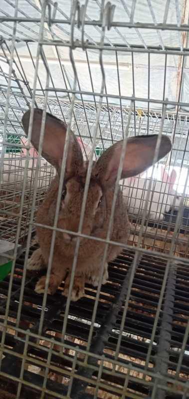 舒兰市肉兔大型种兔养殖基地电话