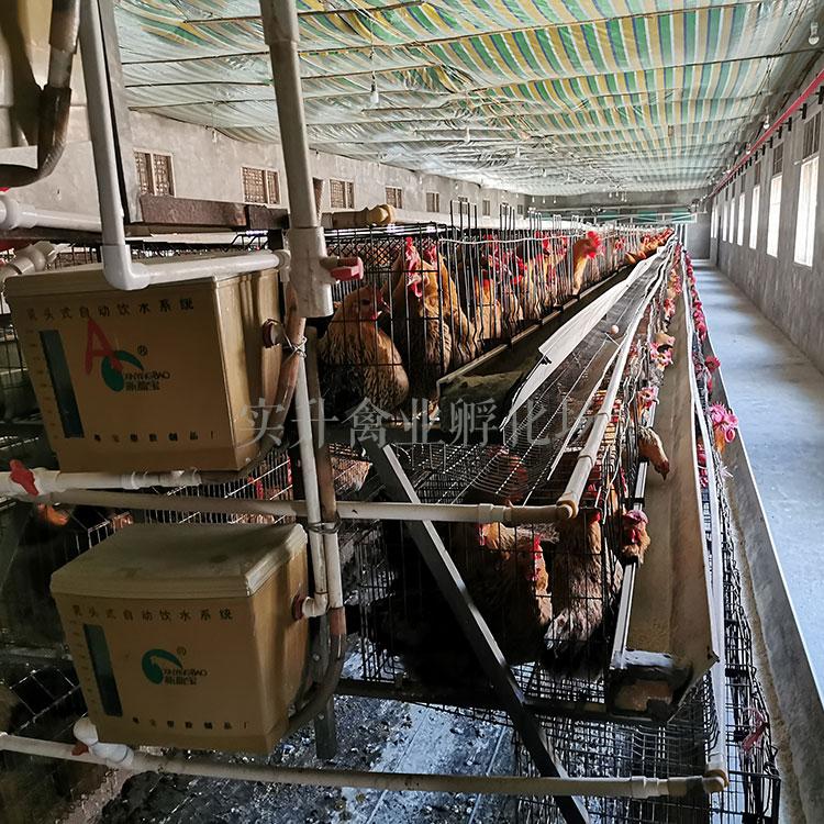 欢迎瑶鸡苗价格走势(湖南娄底里有鸡苗批发市场——绿壳鸡蛋的鸡苗批发