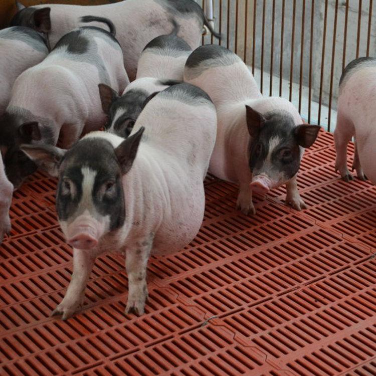齐齐哈尔养一只小香猪养殖场批发采购