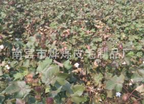 现货大量供应 优质天然棉花 皮棉 长绒棉 细绒棉