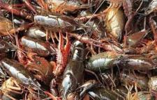 太湖优质稻田养淡水龙虾 品质