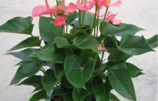海口新春花卉-海口热销花卉去哪买?