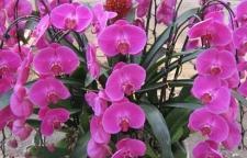 海口蝴蝶兰春节花卉出售供应
