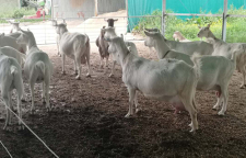 河北海福特牛批发,澳海浩德品种优良