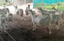 广西海福特牛出售,澳海浩德进出口经验丰富