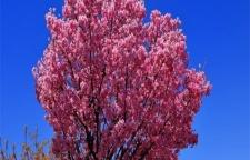 內蒙綠化公司用櫻花染井吉野特點有哪些-萬紫千紅農業創新服務