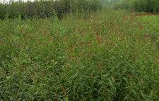 土壤中的钙对梨树苗的重要性