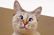 """一只名叫穆尼的三岁暹罗猫因""""斗鸡眼""""近日走红网络"""