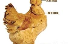 百年贡品——北京油鸡获国家农产品地理标志登记证书
