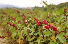 """""""植物红宝石""""洛神花,在惠州山里红农场隆重面市"""