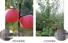 矮化苹果树栽培管理技术