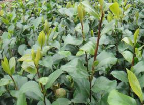 茶花苗批發直銷 綠化苗量大從優